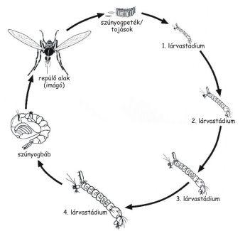 Csípőszúnyog életciklus