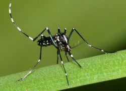 Tigrisszúnyog (Aedes albopictus)